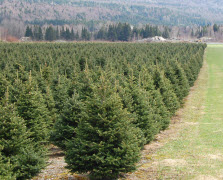 Christmas Trees Plantation