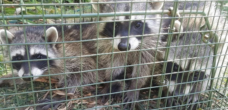 Raccoons in a cage